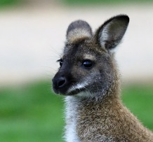 wallaby-1671371_1920